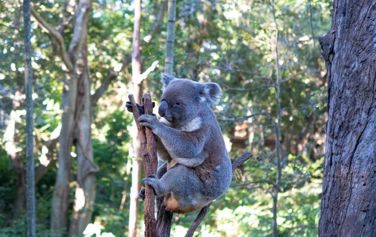 58 Grad Nord - Fotoparade 2018-2 - Tierisch - Koala